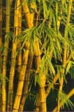 010-Bambus